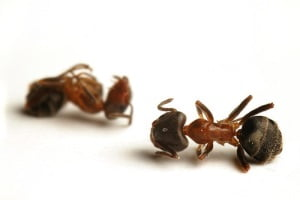 Dead ants, thanks to boric acid