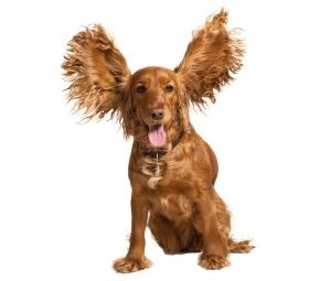 Clean your dogs ears with a boric acid solution