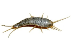 How to kill silverfish with boric acid