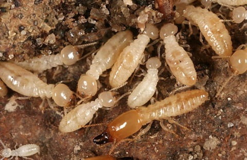 How to kill termites with boric acid.