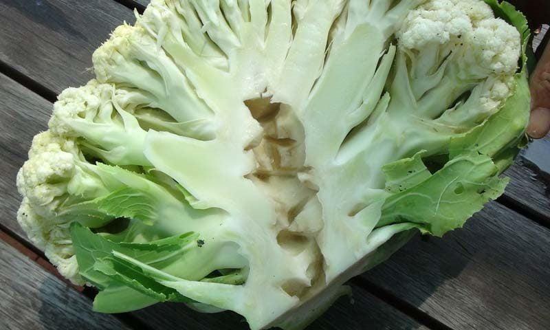 Boron Deficient Cauliflower (Brassica Oleracea) with a hollow stem